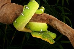 Free Emerald Tree Boa   Royalty Free Stock Image - 4154136