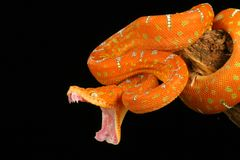 Free Emerald Tree Boa Royalty Free Stock Photography - 4271987