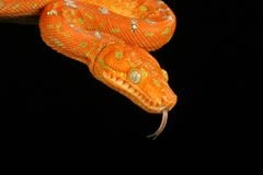 Emerald Tree Boa Royalty Free Stock Photos