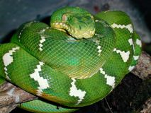 Emerald Tree Boa. Also known as a green tree boa Royalty Free Stock Images