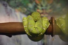 Emerald Tree Boa Imagenes de archivo