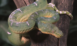 Emerald tree boa Stock Photos