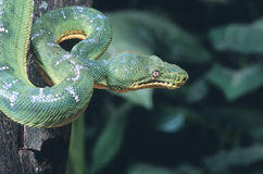 Emerald tree boa. Coiled in tree Royalty Free Stock Photography