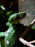 Emerald Tree Boa Blending Close  photos libres de droits
