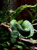 Emerald Tree Boa Blending in With Environment. Emerald Tree Boa constrictor snake blending in with environment with natural camouflage, making eye contact stock image