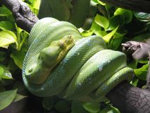 Emerald tree boa. On the branch Royalty Free Stock Image