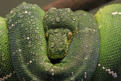 Emerald Tree Boa Close-Up Royalty Free Stock Images