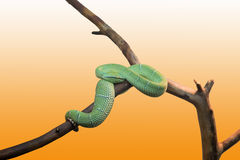 Emerald tree boa closeup Royalty Free Stock Image