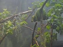 Emerald tree boa Stock Photo