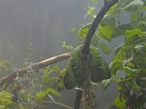 Emerald tree boa Royalty Free Stock Image
