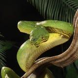 Emerald Tree Boa - Corallus caninus Royalty Free Stock Photos