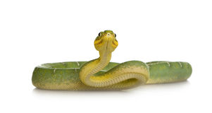 Emerald Tree Boa - Corallus caninus Stock Photo