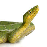 Emerald Tree Boa - Corallus caninus Royalty Free Stock Photography
