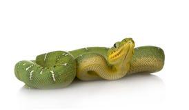 Emerald Tree Boa - Corallus caninus Stock Photo