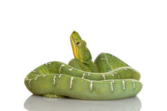 Emerald Tree Boa - Corallus caninus Royalty Free Stock Image