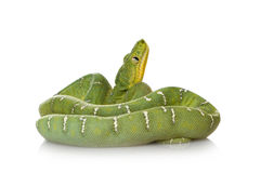 Emerald Tree Boa - Corallus caninus Royalty Free Stock Photos
