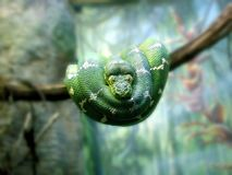 Emerald Tree Boa (Corallus caninus) stock photo