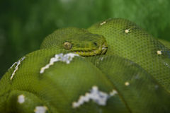 Emerald Tree Boa (Corallus caninus) Royalty Free Stock Image
