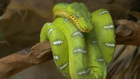 Emerald tree boa (Corallus caninus) coiled around a branch. stock footage