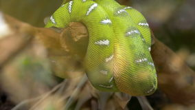 Emerald tree boa (Corallus caninus) coiled around a branch. stock video footage
