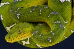 Emerald tree boa / Corallus caninus Royalty Free Stock Photography