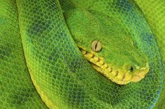 Emerald tree boa / Corallus caninus Stock Photography
