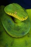 Emerald tree boa / Corallus caninus Stock Image