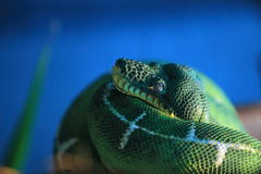 Emerald tree boa Royalty Free Stock Photography