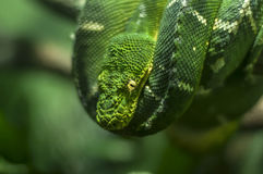 Emerald tree boa. Hanging from a tree branch royalty free stock image