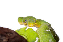 Emerald tree boa isolated on white background Stock Photo