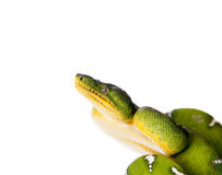 Emerald tree boa isolated on white background Royalty Free Stock Photos