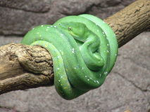 Emerald Tree Boa. Stock Photography