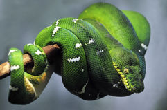 Emerald tree boa snake Stock Photo