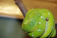 Emerald tree boa snake Stock Photo