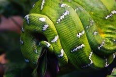 Emerald Tree Boa Snake Royalty Free Stock Photos