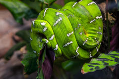 Emerald Tree Boa Snake Stock Photos