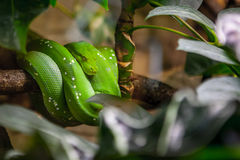 Emerald Tree Boa Snake Royalty Free Stock Photo