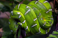 Emerald Tree Boa Snake Stock Image