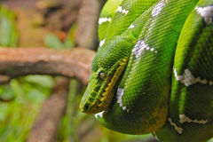 Emerald Tree Boa Wrapped on a Branch Stock Photo