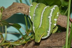 Emerald tree boa3 Royalty Free Stock Photography