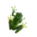 Emerald Tree frog on white background Stock Image