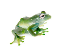 Emerald Tree frog on white background Stock Images