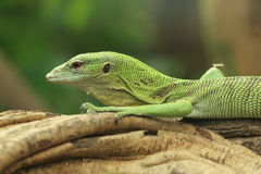 Emerald tree monitor Royalty Free Stock Image
