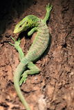 Emerald tree monitor Stock Images