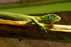 Emerald tree monitor Royalty Free Stock Photo