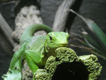 Emerald tree monitor resting in their tree royalty free stock photo