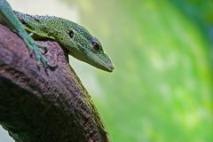 Emerald Tree Monitor (Varanus prasinus) Royalty Free Stock Images