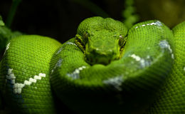 Emerald Tree Snake Royalty Free Stock Images