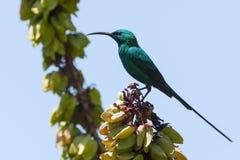 Emeraldhoningzuiger, Malachit Sunbird, Nectarinia-famosa lizenzfreies stockfoto