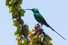 Emeraldhoningzuiger, malachite Sunbird, famosa di Nectarinia fotografia stock libera da diritti